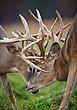 Whitetail Deer - Fighting Bucks Locking Antlers - WHI-0035.jpg