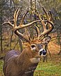 Whitetail Deer - Full Circle Buck - WHI-0030.jpg