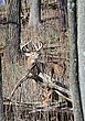 Whitetail Deer - Hillside Buck - WHI-0051.jpg
