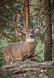 Whitetail Deer - Pine Forest Buck - WHI-0044.jpg