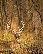 Whitetail Deer - Resting Buck - WHI-0017.jpg