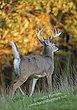 Whitetail Deer - Tail Up Buck - WHI-0052.jpg