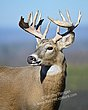 Whitetail Deer - Vista Buck - WHI-0048.jpg