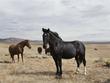Big Black Wild Mustang.jpg