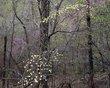 Dogwoods Broadwater Hollow.jpg