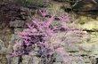 Red Bud Spring  - Ozark Mts. Ark.jpg