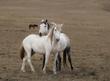 White Mustangs Deerwood Station Wyoming.jpg