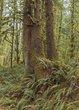 Sitka Spruce Ecola Oregon.jpg