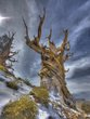 A TWISTED OLD TREE CALLED THE BRISTLECONE PINE  -  1372.jpg