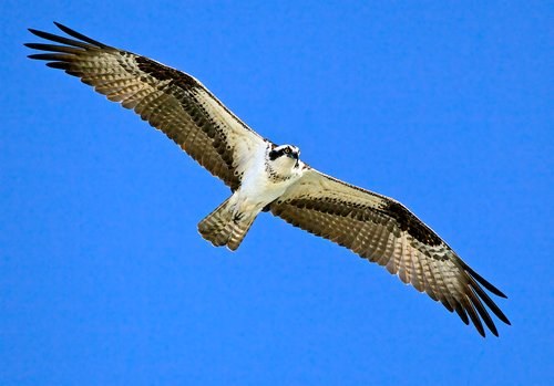 Osprey free as a bird -- Looking at me --- Wingspan 63 inches.jpg