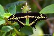 Butterfly Swallowtail old.jpg