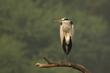 Acrobat of the Wetlands.jpg