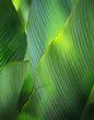 Banana tree leaves.jpg