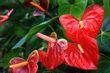 Red Anthurium Flowers.jpg