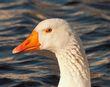 Swans Eye-CRW_7504.jpg