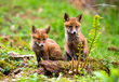 2-fox-cubs-in-woods.jpg