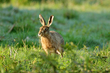 Hare in morning light.jpg