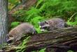APPALACHIAN TRAIL LANDS - Raccoons.jpg
