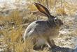 ASH MEADOW National Wildlife Refuge - Black Tail Jackrabbit.jpg