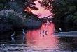 CHINCOTEAGUE National Wildlife Refuge - Great Egrets.jpg