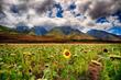 A Single Sunflower.jpg