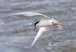 Forsters Tern.jpg