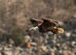 Intense Eagle cpyrt.jpg
