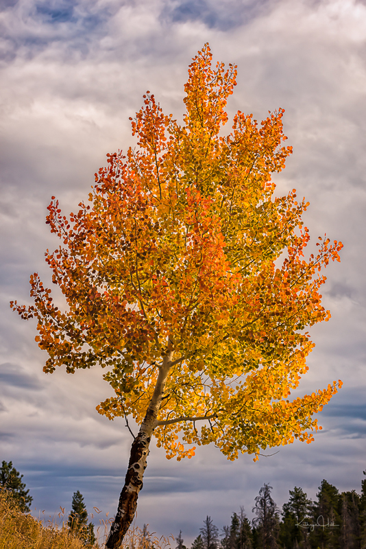 Aspen Celebration.jpg :: A lone aspen glows in her autumn glory.
