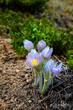Pasque Springtime.jpg