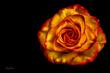 Rose in Detail.jpg
