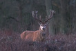 Stag in early morning light - 5675.jpg