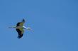 White Stork in flight over Sussex.jpg