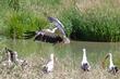White Stork joining the party.jpg