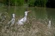White Storks loving their new home.jpg