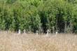 White Storks messing about in the grass.jpg