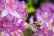 Bumble Bee in Flight.jpg