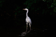 Heron on the Black Oak River.jpg