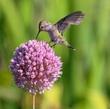Anna Hummingbird on Allium.jpg