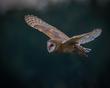 Barn Owl(1).jpg