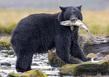 Black Bear Catch.jpg