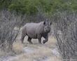 Black Rhino Glimps.jpg