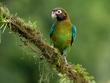 Brown-Hooded Parrot (male).jpg