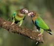Brown-hooded Parrot Pair.jpg