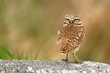 Burrowing Owl 2.jpg