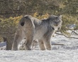 Canada Lynx.jpg
