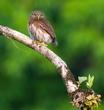 Central American Pygmy Owl on Branch.jpg