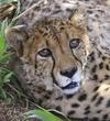 Cheetah Love.jpg