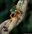 Costa Rica Frog.jpg
