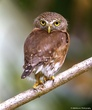 Costa Rican Owl.jpg
