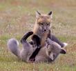 Fox Kits Playtime.jpg